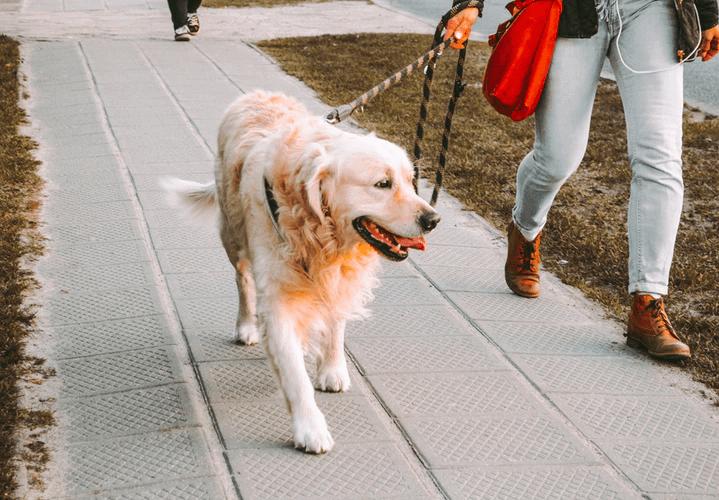 Golden retriever en un paseo