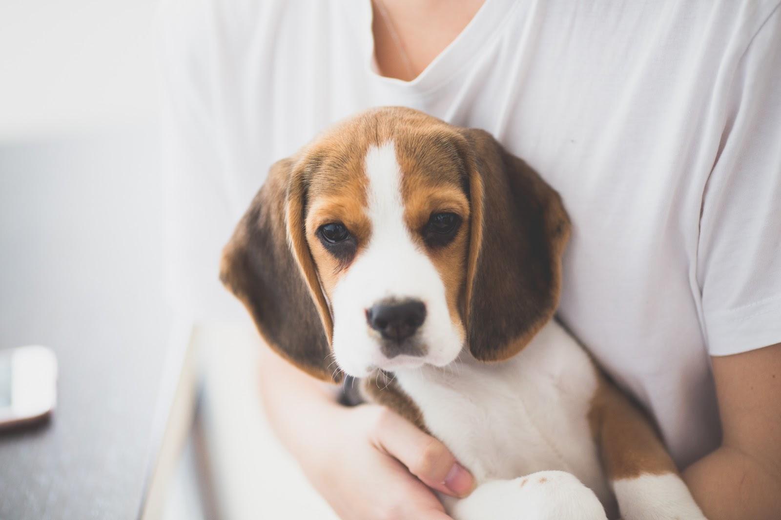 El cachorro beagle más lindo acunado en brazos de una mujer